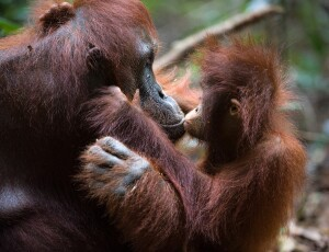 Indonesia - Supporting orangutan conservation (credit Asian Trails)